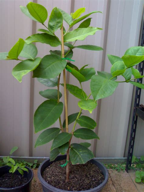 jambu fruit tree wax jambu tree syzygium samarangense