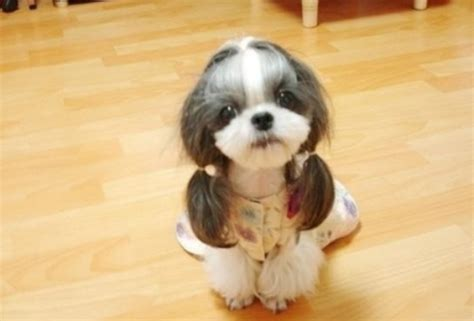 best pet clippers for shih tzu 7 unique pictures of shih tzu hair styles