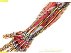 les arteres du membre superieur