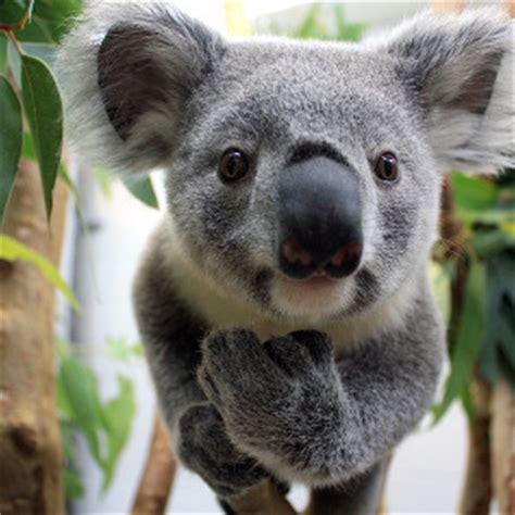 Metto Koala koalapants bot