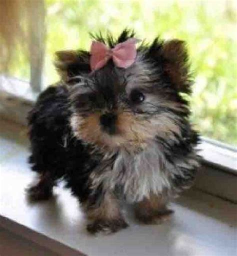 puppy bows yorkie the world s catalog of ideas