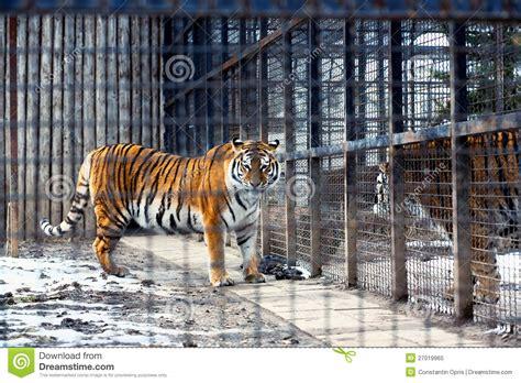 tigre in gabbia tigre di bengala in gabbia fotografia stock libera da