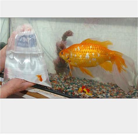 goldfish how many goldfish can go in a 40 50 gallon pond feeder gold my aquarium club