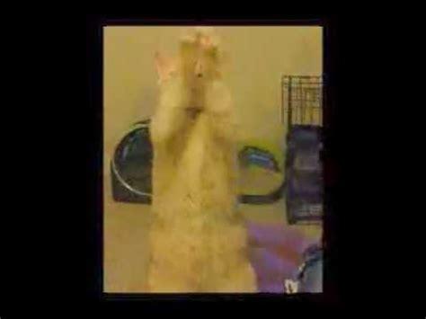 youtube music hamster dance ollie does the hamster dance youtube
