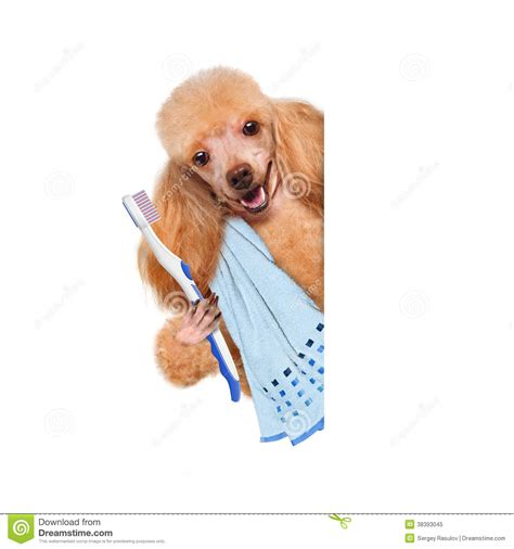 brushing puppy teeth brushing teeth royalty free stock photo image 38393045