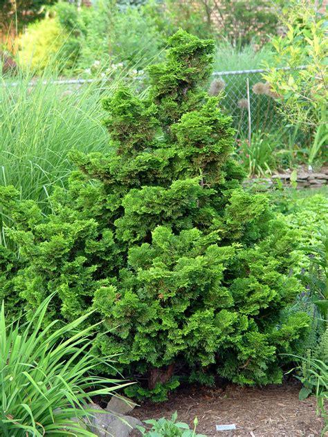 Nanas Madu By Golden Effort hinoki cypress nana gracilis garden housecalls