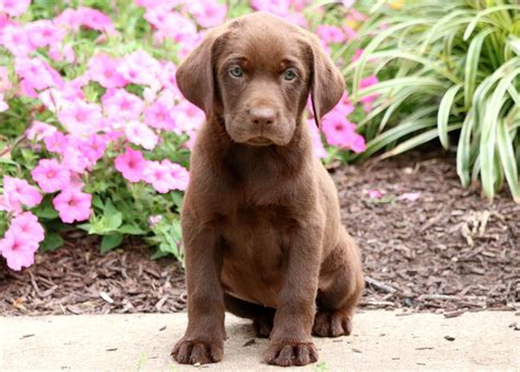 chocolate lab puppies price chocolate lab puppies for sale in hoobly classifieds