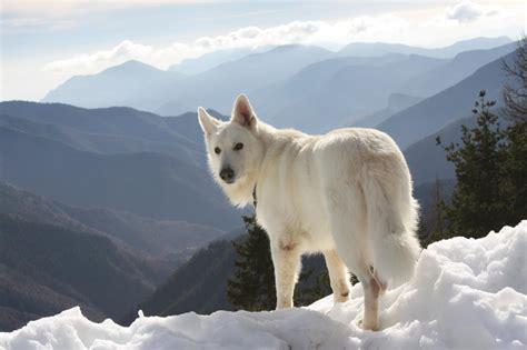 le berger near me berger blanc suisse le site qui m a aid 233 224 me d 233 cider