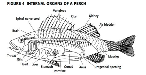 a diagram of a fish diagram of a tilapia fish 28 images oasis field guide