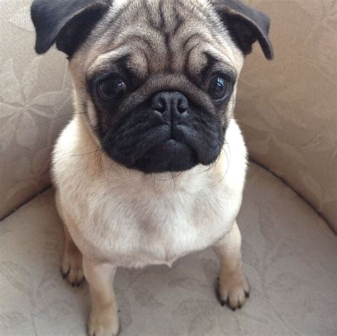 4 year pug beautiful 2 year pug reading berkshire pets4homes