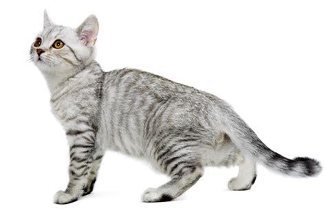 laid back breeds burmilla cat purrfect cat breeds