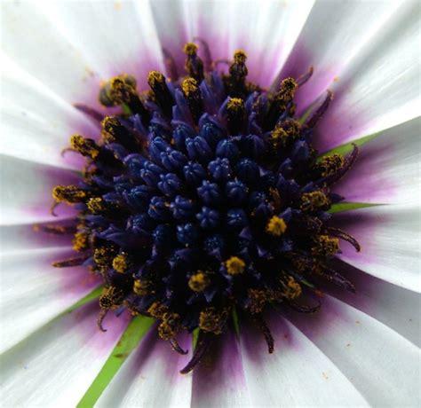 fotografie fiori fiore bluviolagiallo fotografia fiori