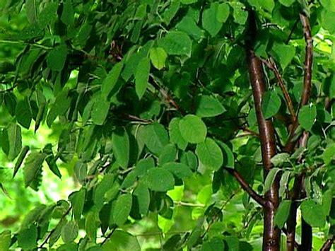 shade tolerant fruit trees shade tolerant plants diy