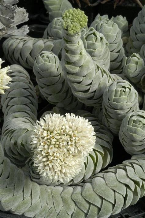 facts about succulents spiral succulent plants the interesting unusual