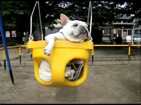 french bulldog swing french bulldogs in swings cute omg fart youtube