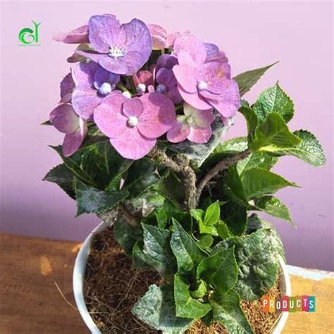 beli disini hortensia bunga ungu kualitas import ibad garden