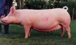 Pig Names Sow Boar Gilt » Home Design 2017