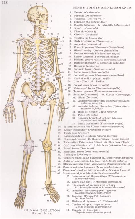 human bones diagram human skeleton diagram front and back