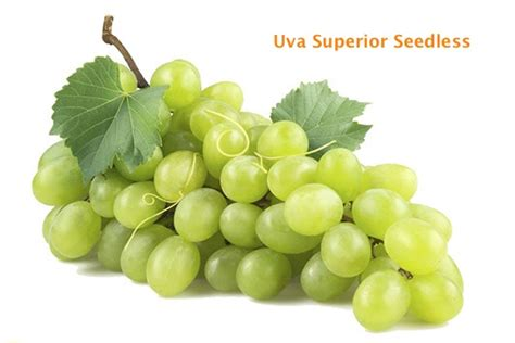 imagenes de uvas sin fondo uva sin semillas superior descripci 243 n caracter 237 sticas y