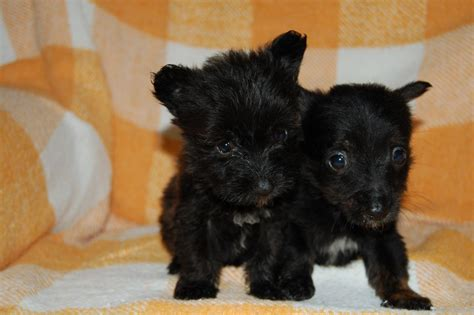chihuahua and yorkie mix for sale tiny chorkie puppies chihuahua x yorkie mix ready sudbury suffolk pets4homes