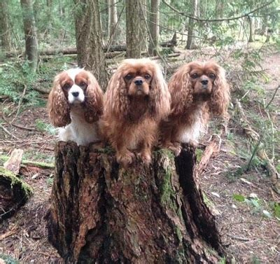 golden retriever breeders vancouver island sunsprite golden retrievers and cavalier king charles spaniels vancouver island bc