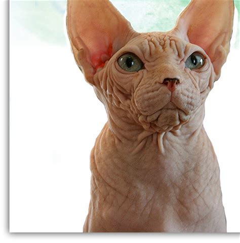 Siamese cats hairless   About Animals