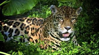 Peruvian Jaguar Things To Do In Peru S Rainforest All You Need To