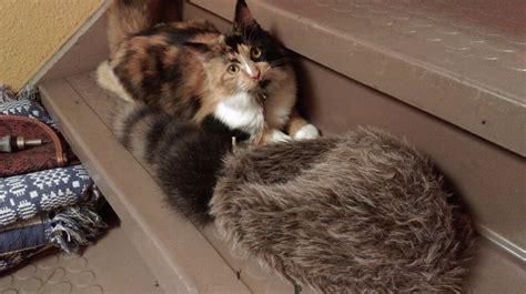 alamo and cat alamo cat is a purr fect companion for shrine visitors san antonio express news