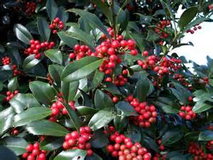 christmas plants beautiful gardens holly