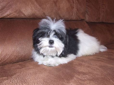 maltese shih tzu photos pictures of shih tzu and maltese at 7 weeks breeds picture