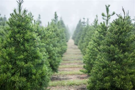 top 28 christmas tree farm richmond va 100 christmas