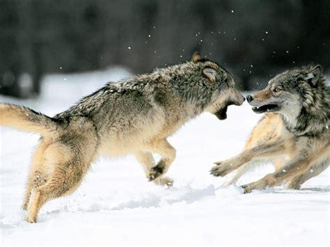 imagenes terrorificas de lobos megapost de imagenes de lobos algunas no reales taringa