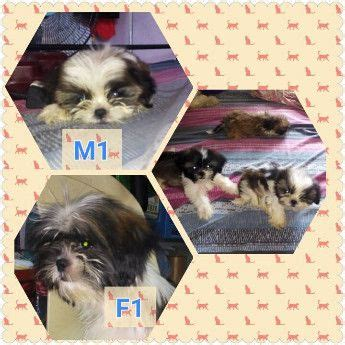 where to buy shih tzu philippines shih tzu puppies for sale brand new for sale philippines breeds picture