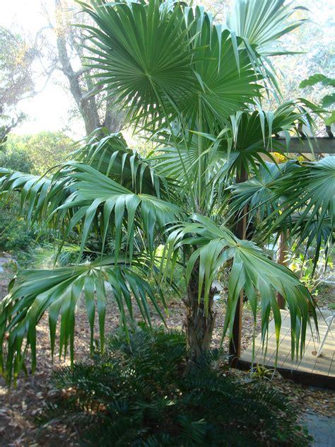 florida thatch palm for sale wilcox nursery