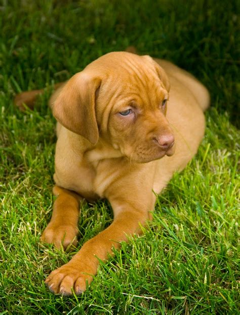 vizsla puppies iowa breeder vizsla puppies for sale breeds picture