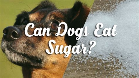 can dogs eat maple syrup can dogs eat sugar pet consider