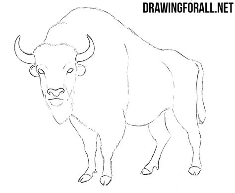 How To Draw A Drawingforall by How To Draw A Bison Drawingforall Net