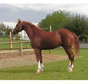 This Is A Horse With At Least 5 Generations Of Recognized Sport