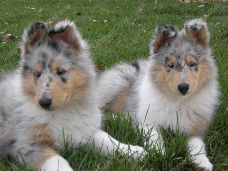 blue merle collie puppies for sale we are a collie breeder of quality collies collie puppies in all