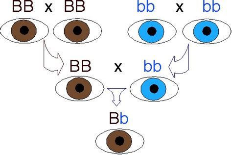 genetics eye color married californian genetics primer 1 variations on