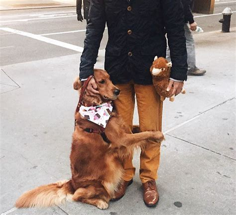 golden retriever puppies new york this retriever is obsessed with giving hugs to everyone he meets bored panda