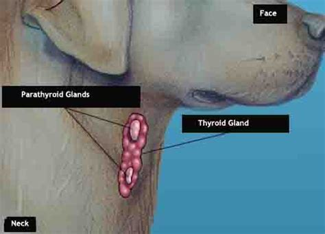 gland problems in dogs thyroid problems in dogs care and treatment