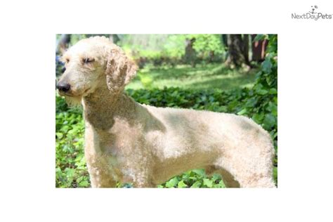 goldendoodle puppies for sale in tennessee goldendoodle puppy for sale near tennessee