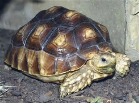 Yang Mini Filter Tortoise Kura Kura Tipe Yang Yp 001 my tortoise is not and is not active as usual the