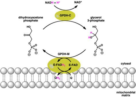 creatine glycerol phosphate glycerol 3 phosphate dehydrogenase revolvy