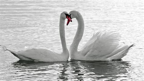 lovely white sfondo quot coppia di cigni hd quot 1920 x 1080 hd widescreen