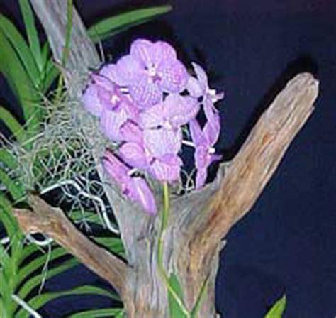 Jual Pot Anggrek Vanda ketikasantai gambar bunga anggrek hias