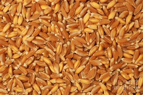 Online Decor Stores Emmer Wheat Grains Photograph By Marv Vandehey