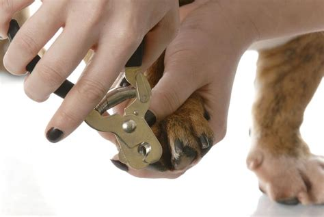 how to cut a dogs nails trimming nails slideshow