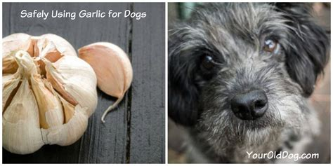 garlic for dogs garlic for dogs and how to safely use it your